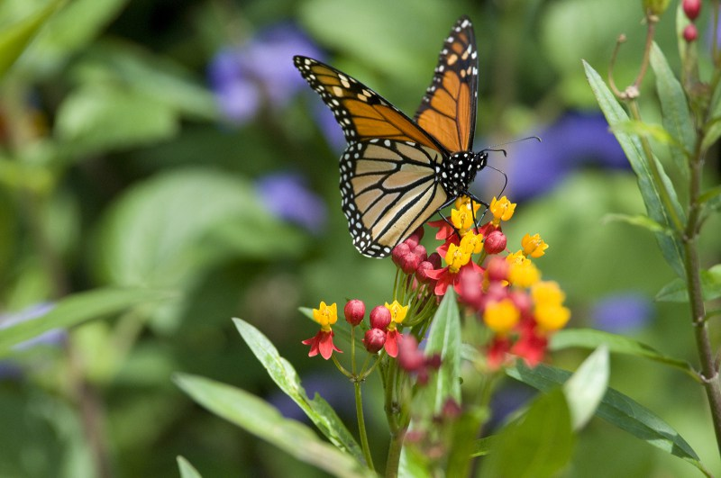 monarch-butterfly-on-milkweed