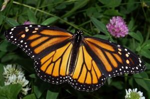 Meet the Monarchs Youth Webinar