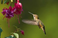 Hummingbird FB