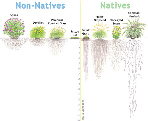 native-plant-root-system