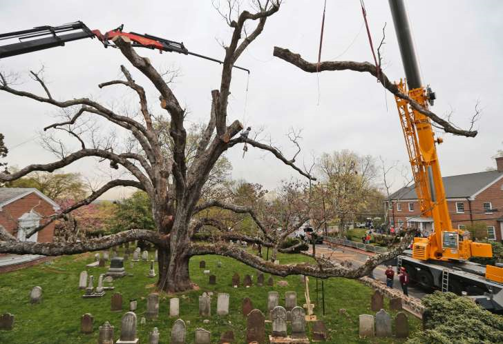 Picture of the removal of the Great White Oak