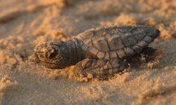 Kemp's Ridley sea turtle baby