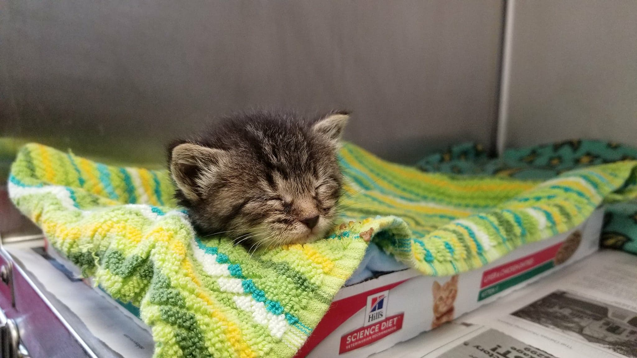 dallas animal services, kitten, foster, cute