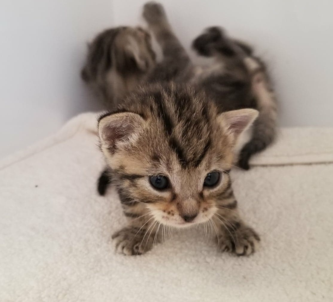 Dallas animal services, foster, kitten