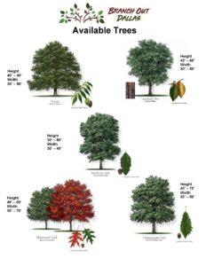 branch out dallas, native trees, dallas, texas