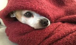chihahua, blanket, cold, pet, winter