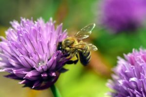 blog post photo of chives with a bee